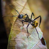 Golden Carpenter Ant - Linda Rogers