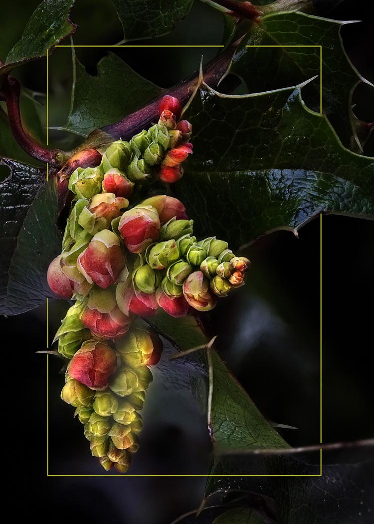 Oregon Grape 2 - Neal Thompson