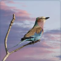 Lilacbreasted Roller - Barbara Tricarico