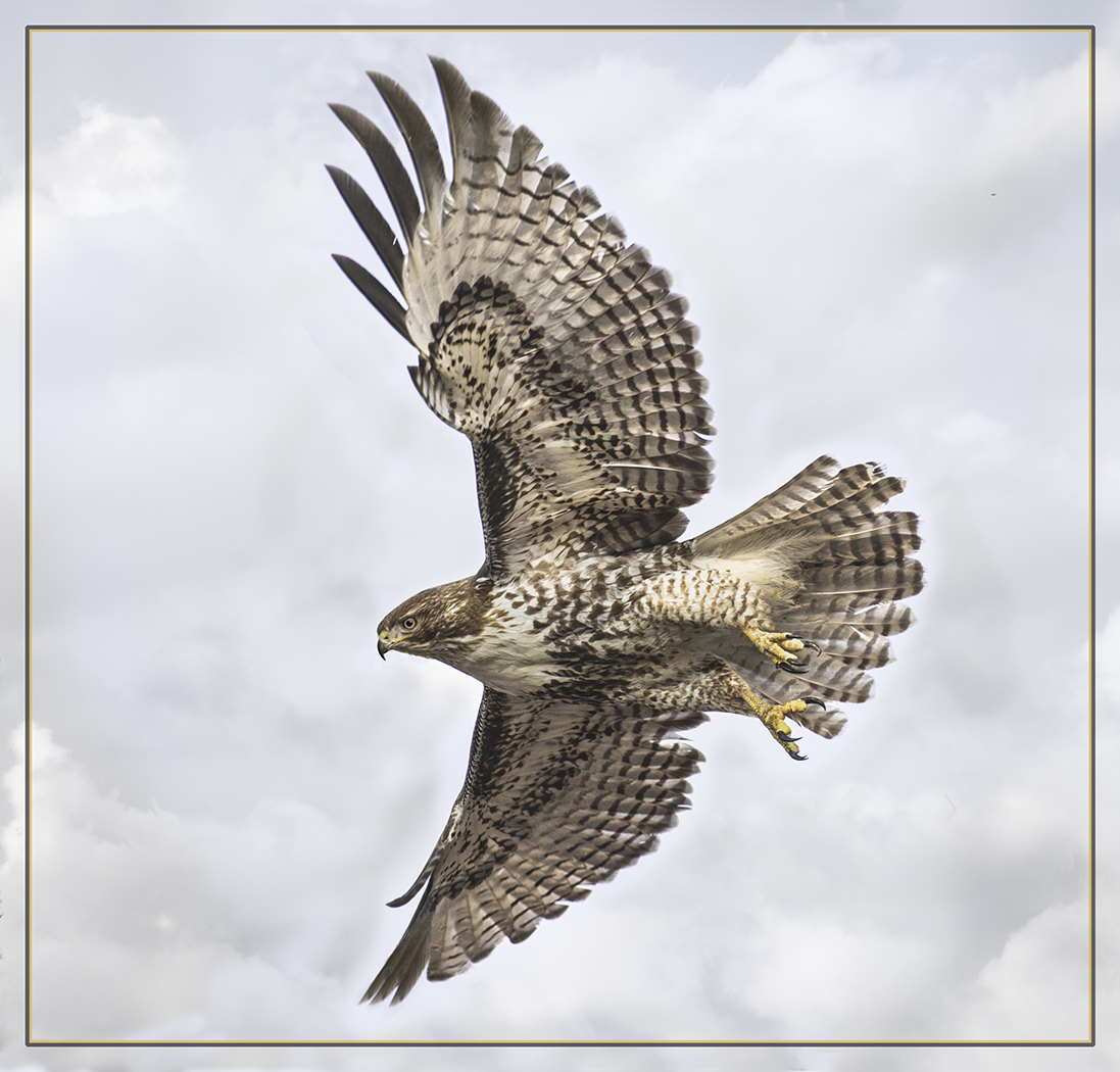Red Tailed Hawk - George Peterson