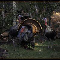 Talking Turkey - George Peterson