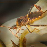 Western Box Elder Bug - Neal Thompson