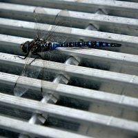 Dragonfly On A Grate - Richard Krieger
