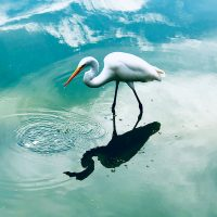 Great Egret - Christine Schwartz