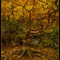 Fall Tree - Neal Thompson