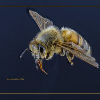 European Honey Bee - Neal Thompson
