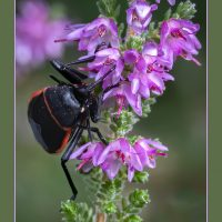 California Beetle In Scottish Heather - Richard Handler